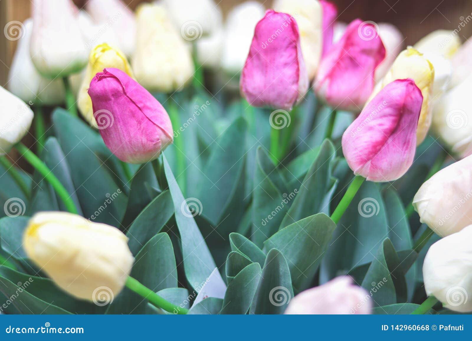 Tulipes de rose de groupe et blanches Horizontal de source