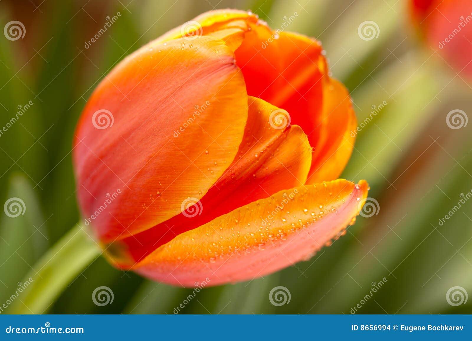 Tulipes de source