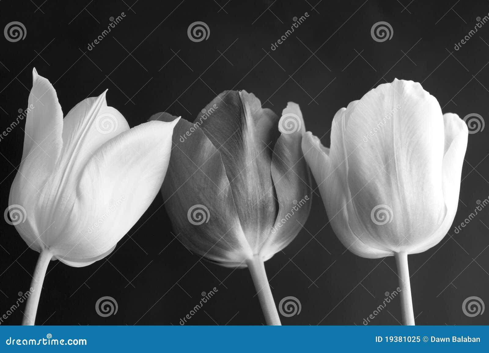 tulipes en noir et blanc photo libre de droits image. Black Bedroom Furniture Sets. Home Design Ideas