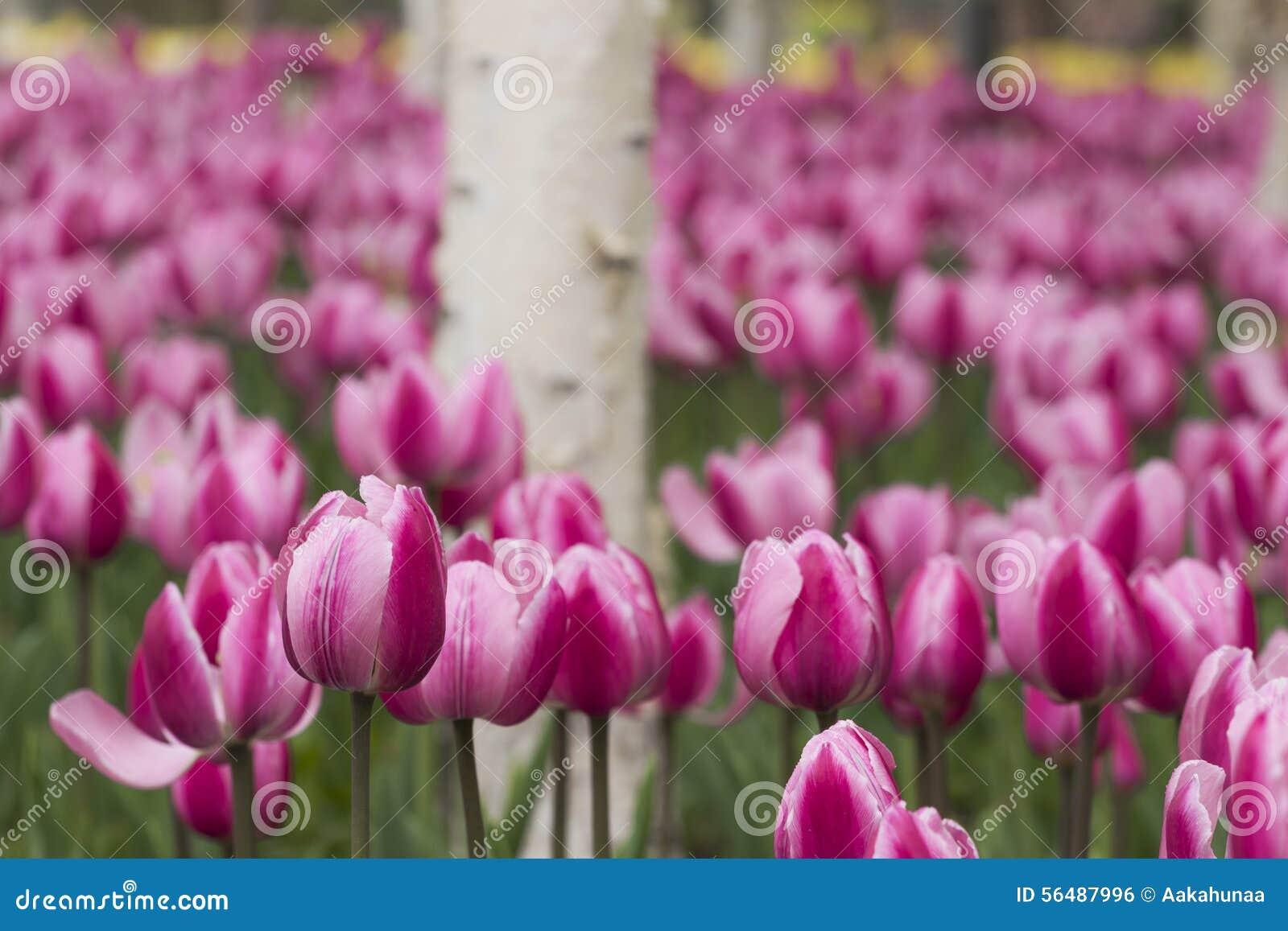 Tulipes et bouleau blanc