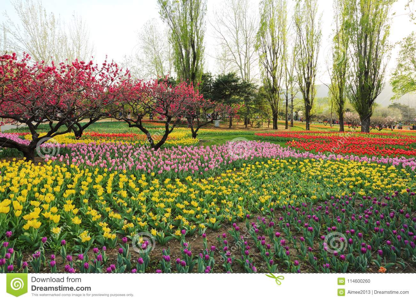 Tulipes et fleurs de pêche en ressort de jardin