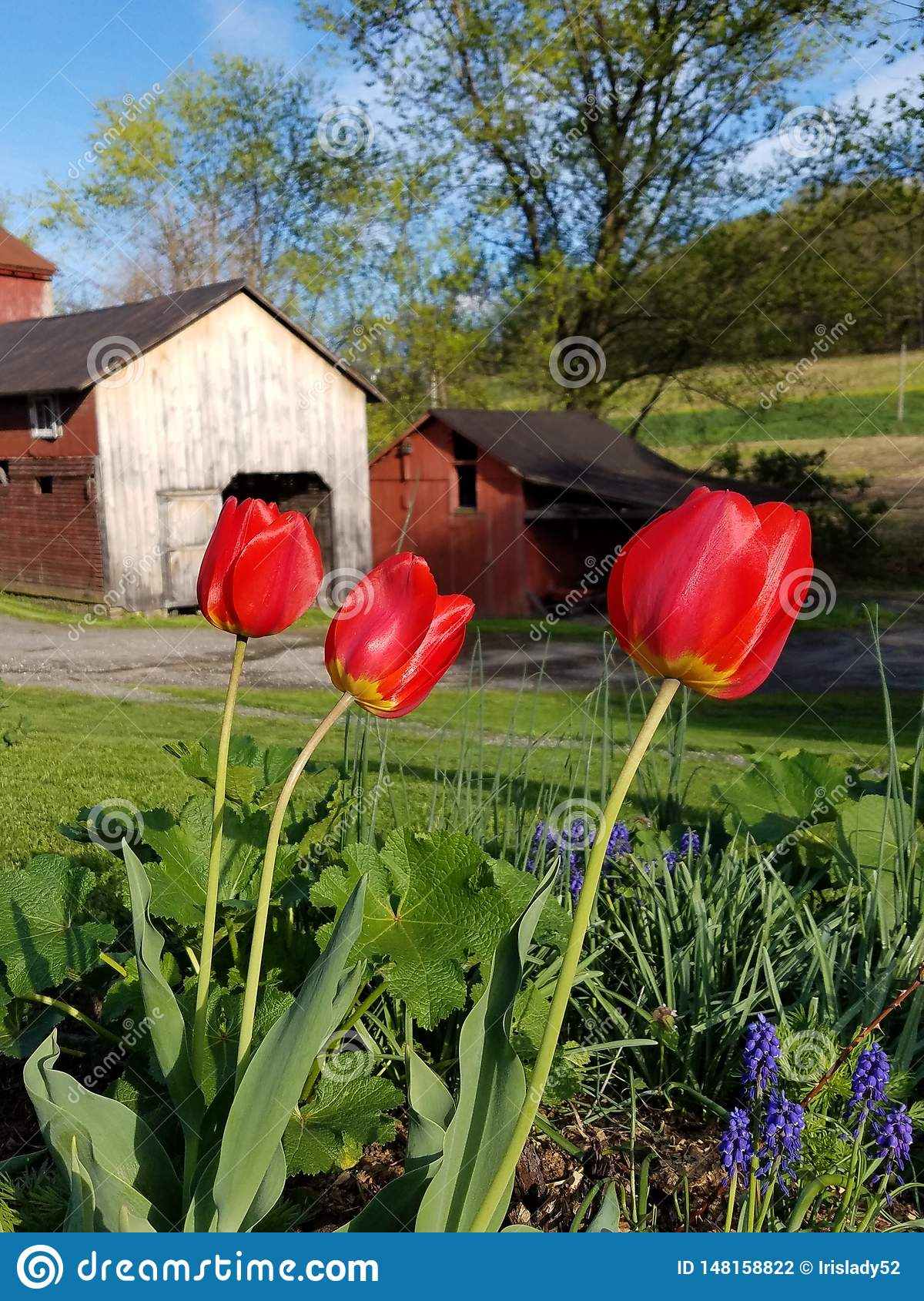 Tulipes et hangar rouges