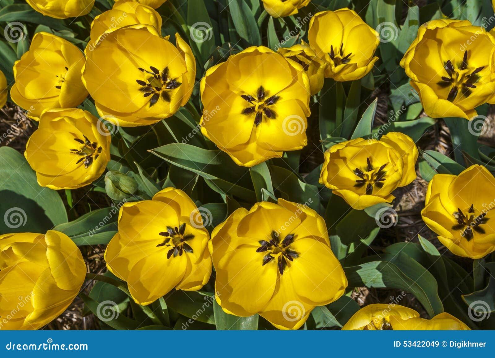Tulipes fleuries d or