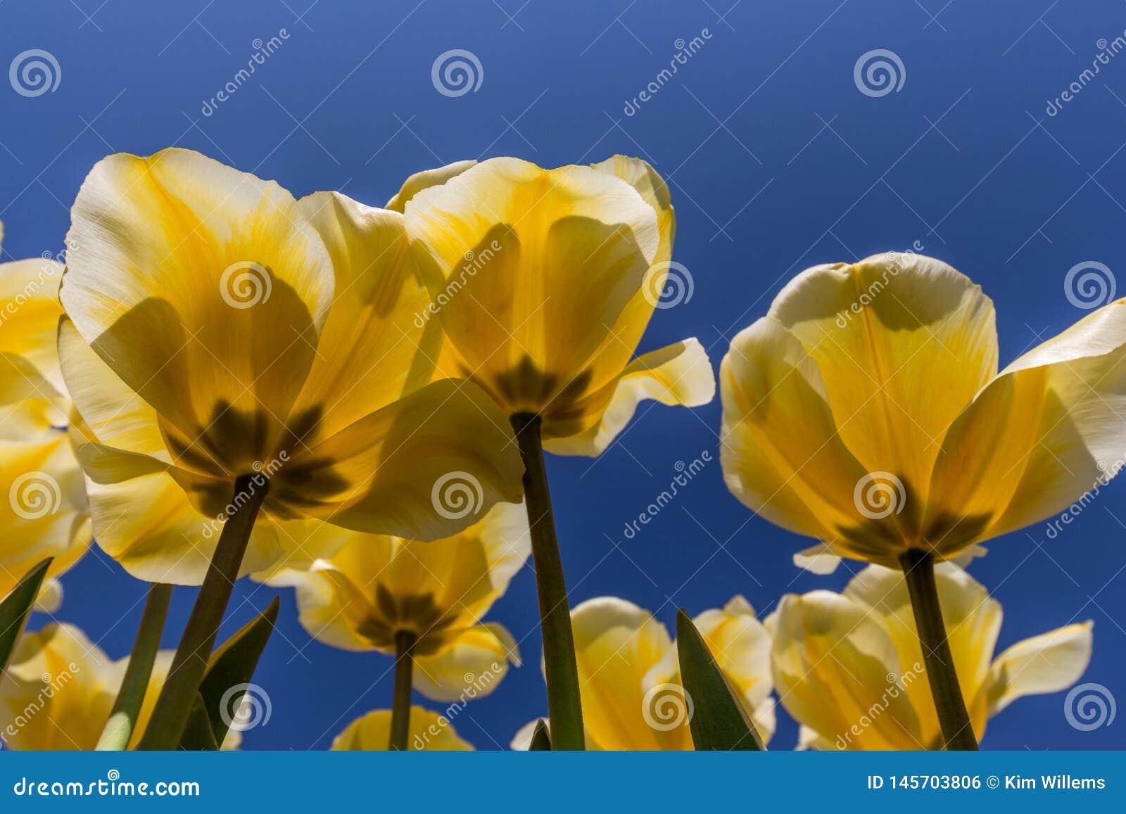 Tulipes jaunes en fleur aux Pays-Bas