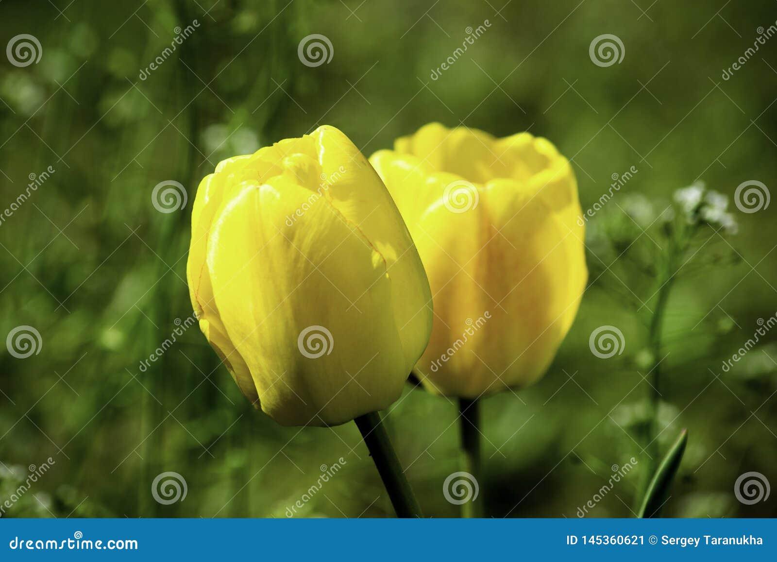 Tulipes jaunes s élevant sur une pelouse verte au printemps