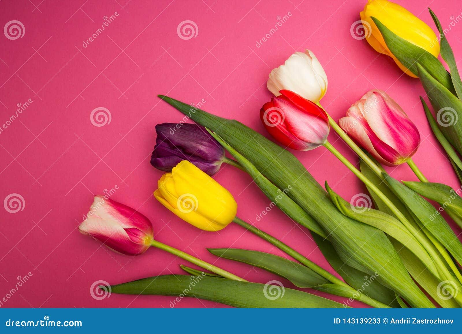 Tulipes multicolores sur un fond rose