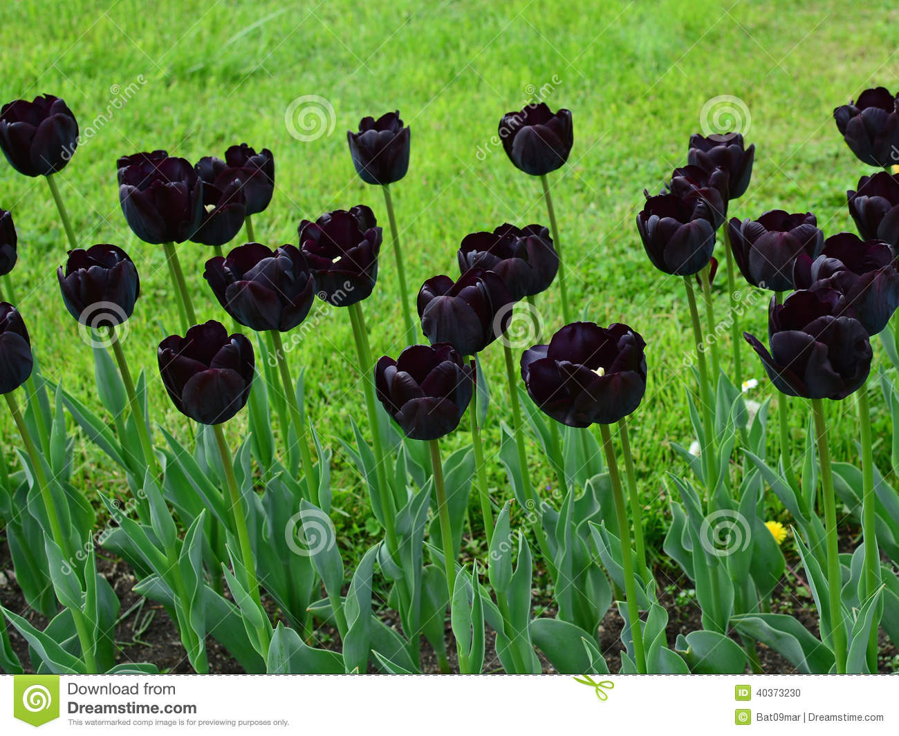 Tulipes Noires Photo Stock Image 40373230