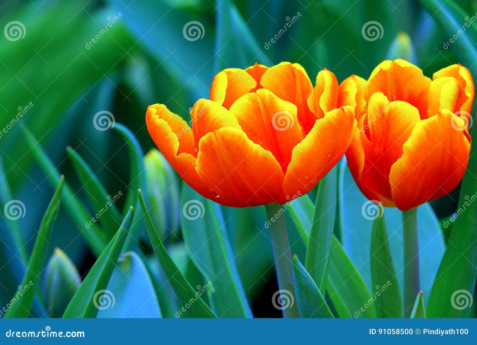 Tulipes oranges inclinées par jaune vibrant