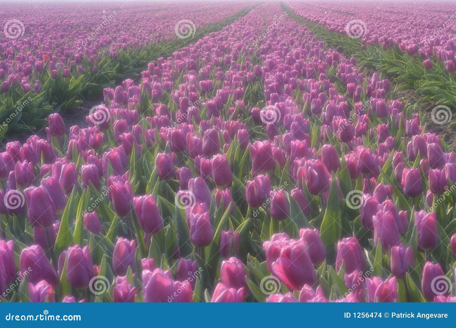 Tulipes pourprées