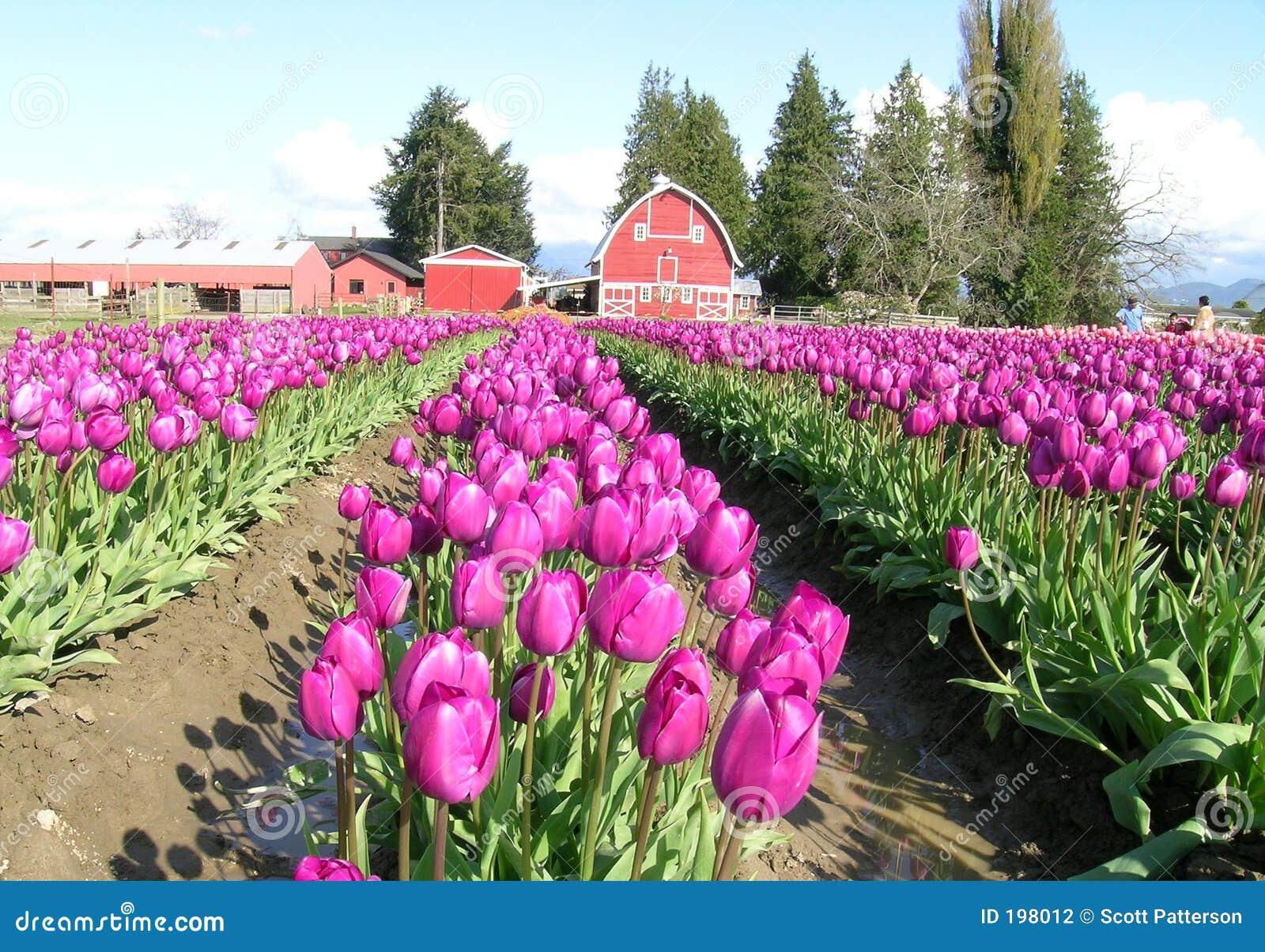 Tulipes, pourprées