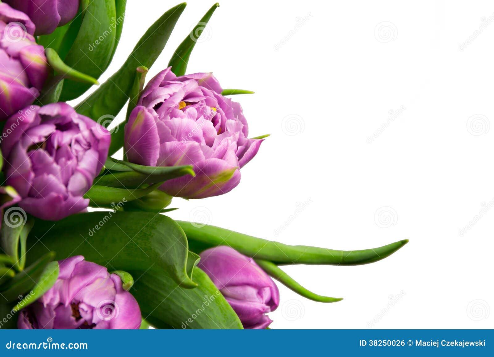 Tulipes pourpres
