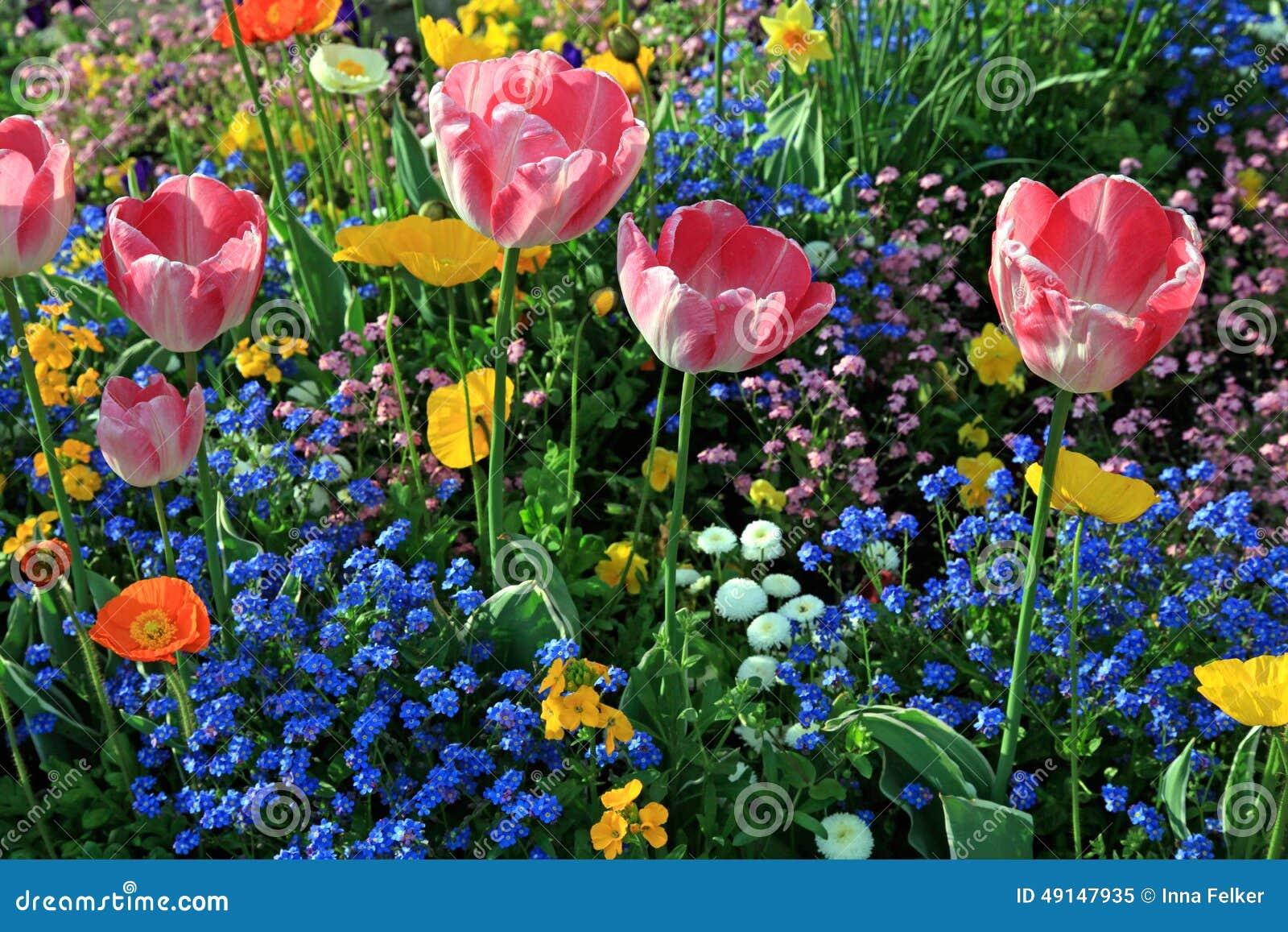 Tulipes roses et fleurs multicolores de jardin photo stock for Jardin et fleurs
