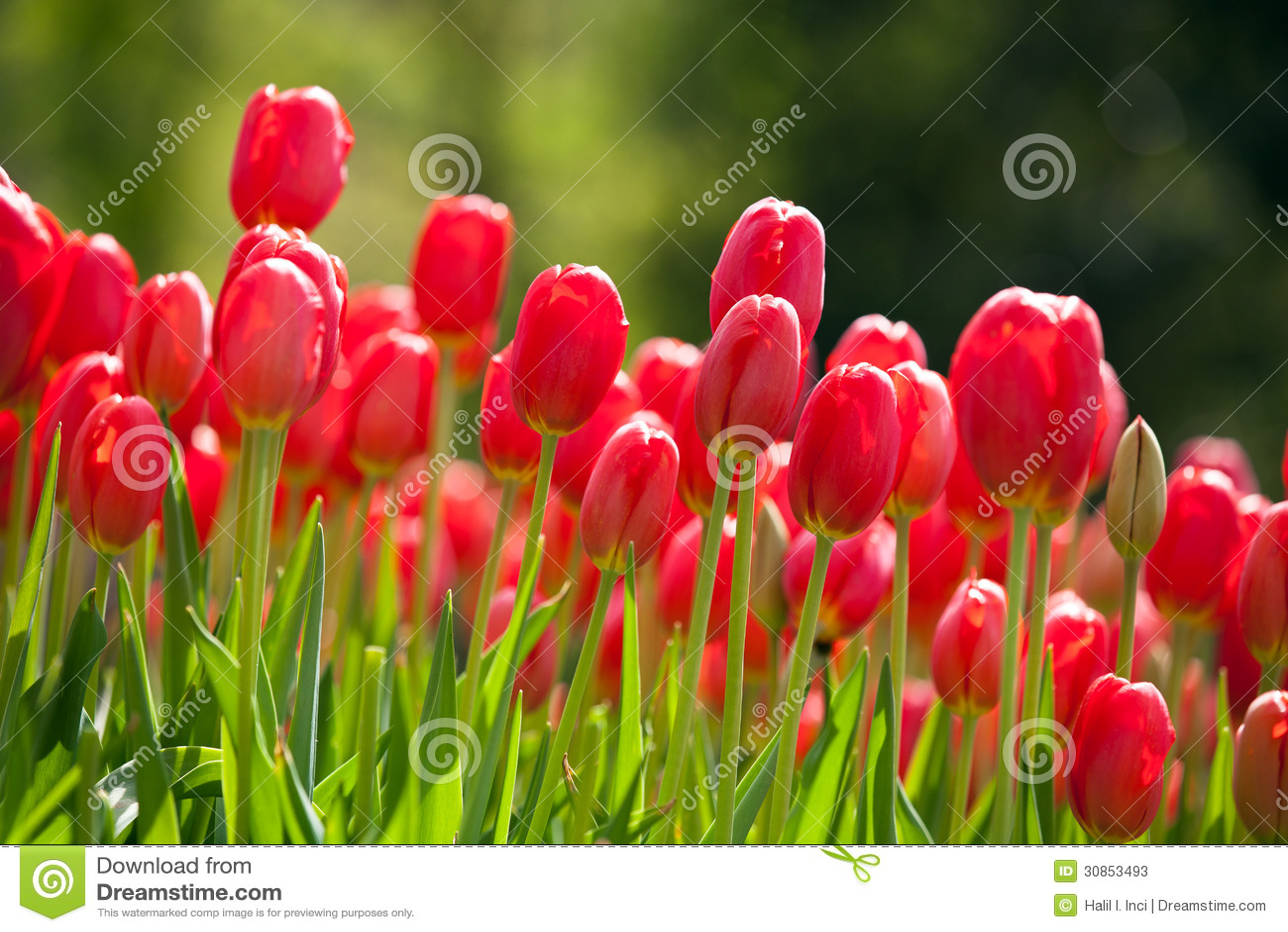 Tulipes rouges au printemps