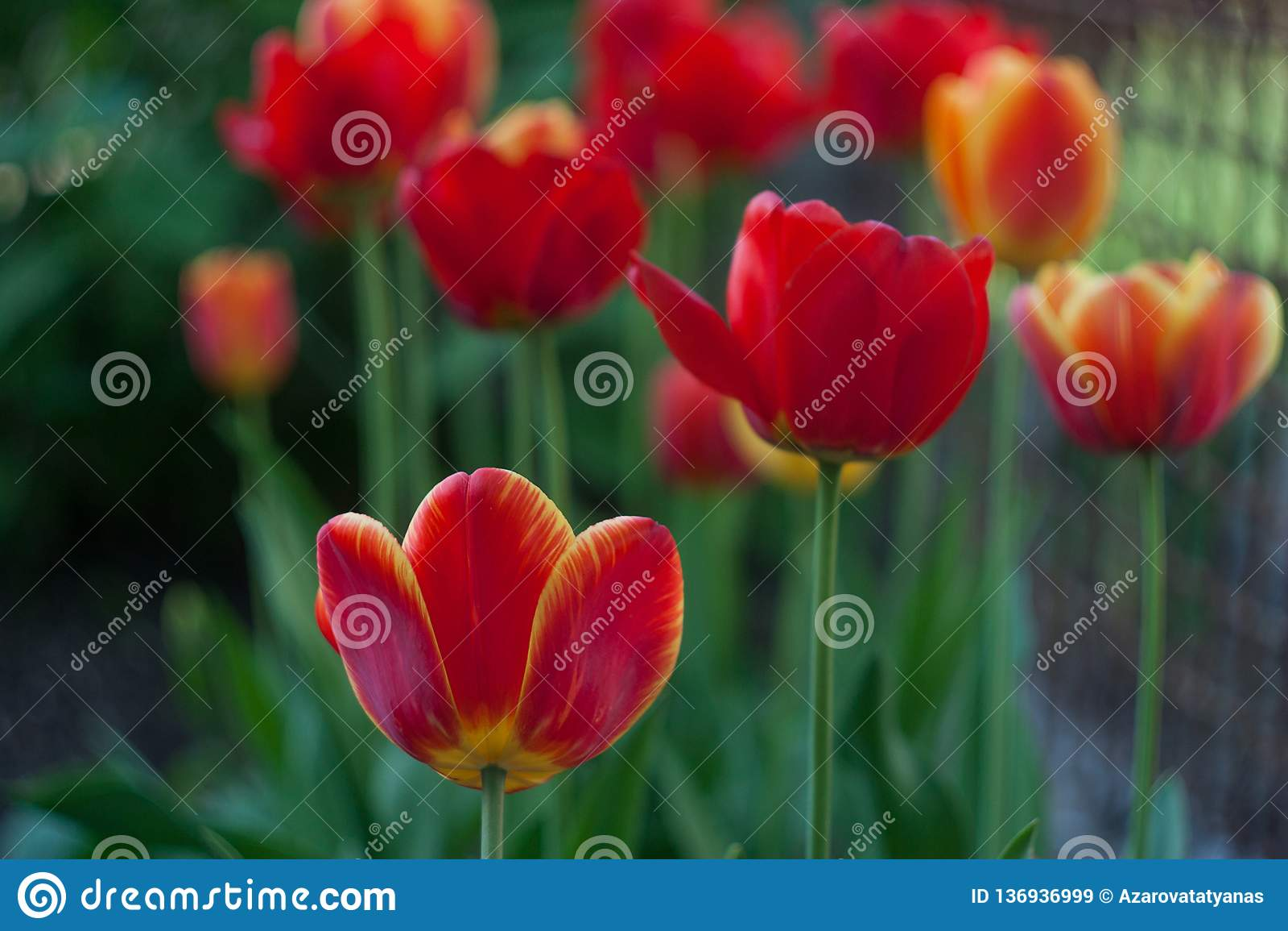 Tulipes rouges dans le jardin vert au printemps