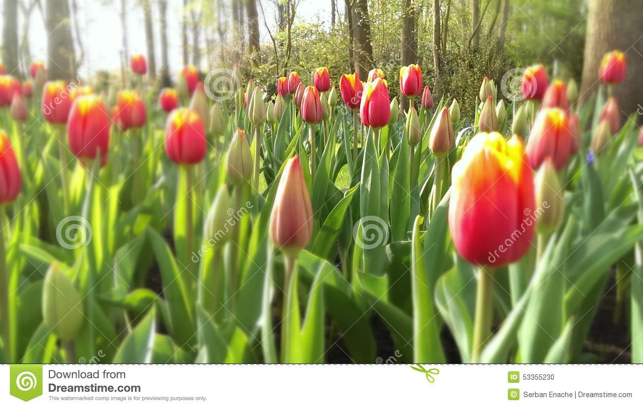 Tulipes rouges et jaunes