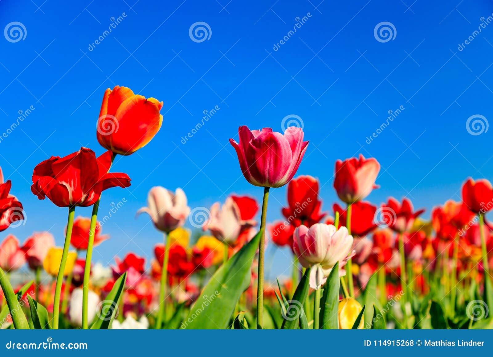 Tulipes rouges sur un champ avec le ciel bleu et le soleil
