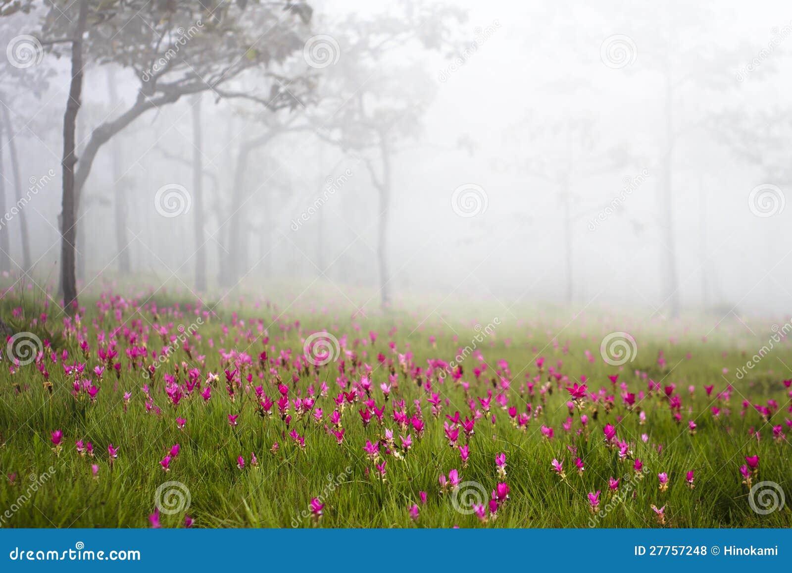 Tulipes sauvages du Siam fleurissant dans la jungle dans le phoom de Chaiya