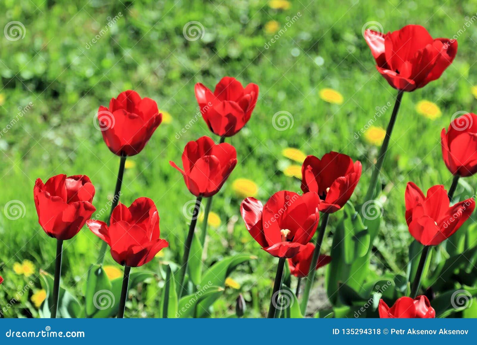 Tulipes sur la pelouse de ressort entourée par l herbe et les pissenlits