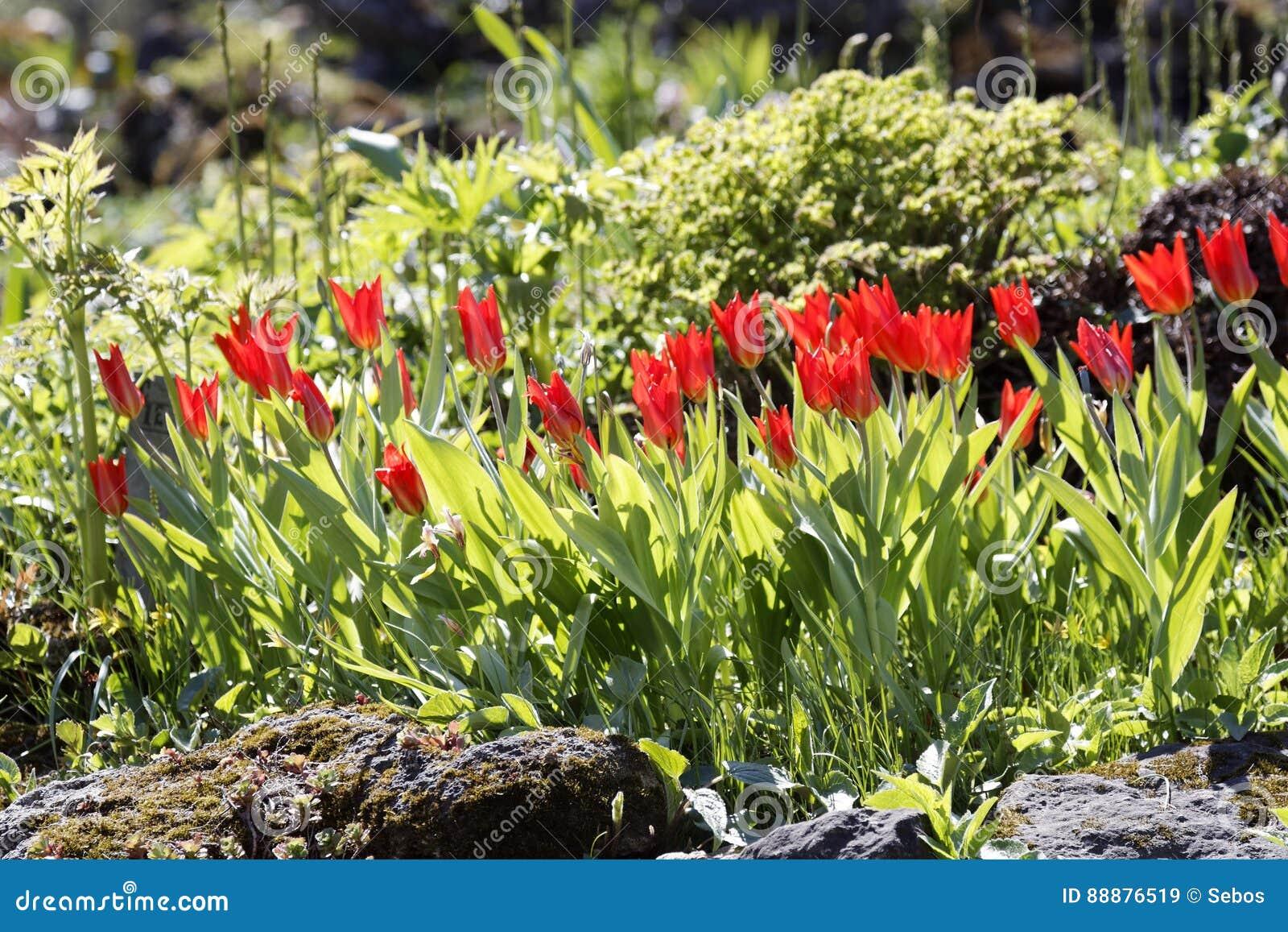 Tulipes sur le parterre fleurs dans le jardin photo stock for Fleurs dans le jardin