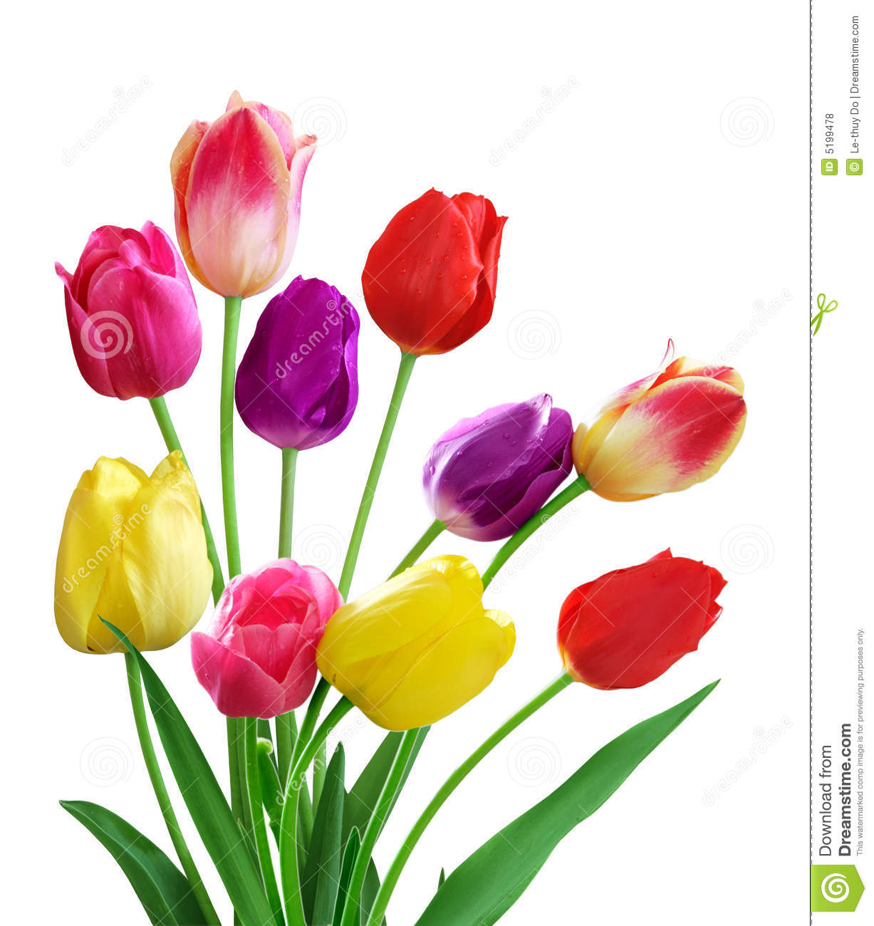 Tulips in different colors isolated on white background.
