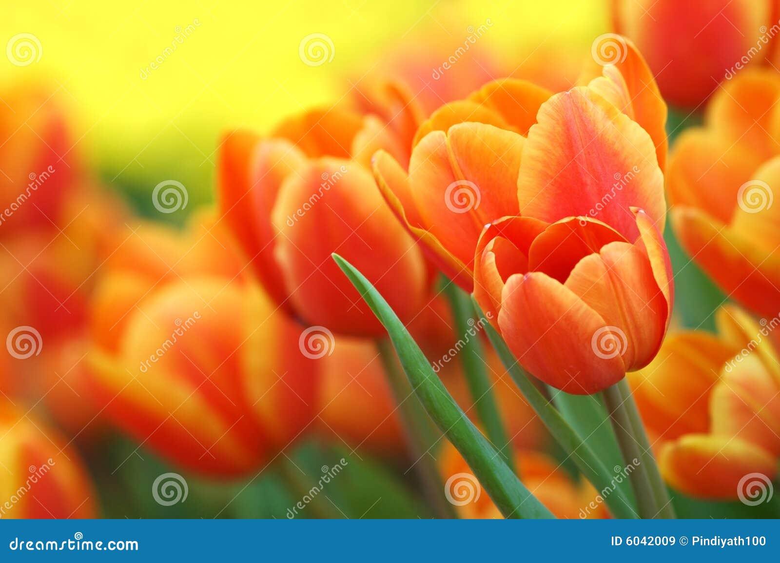 Tulips alaranjados no jardim
