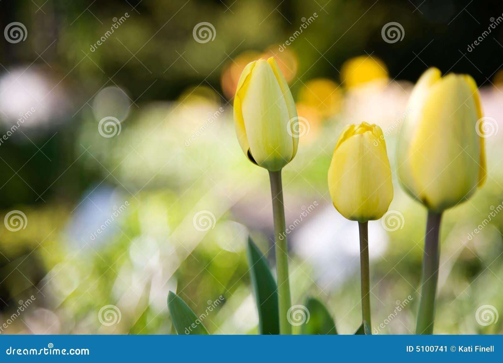 Tulips amarelos