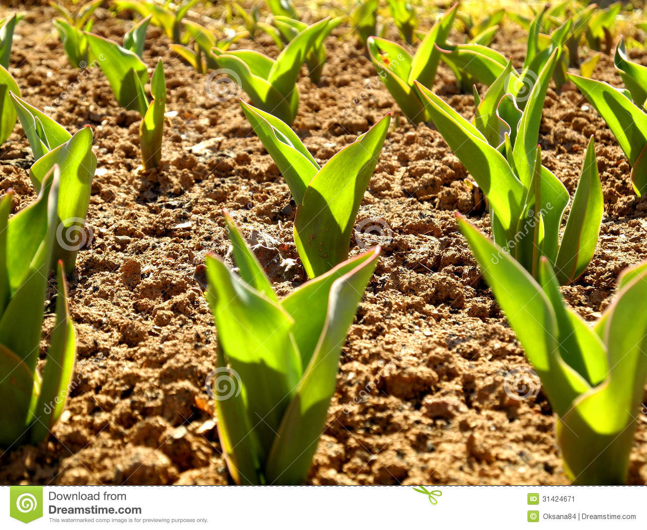 Tulips At The Beginning Of Spring Stock Image Image Of Leaves