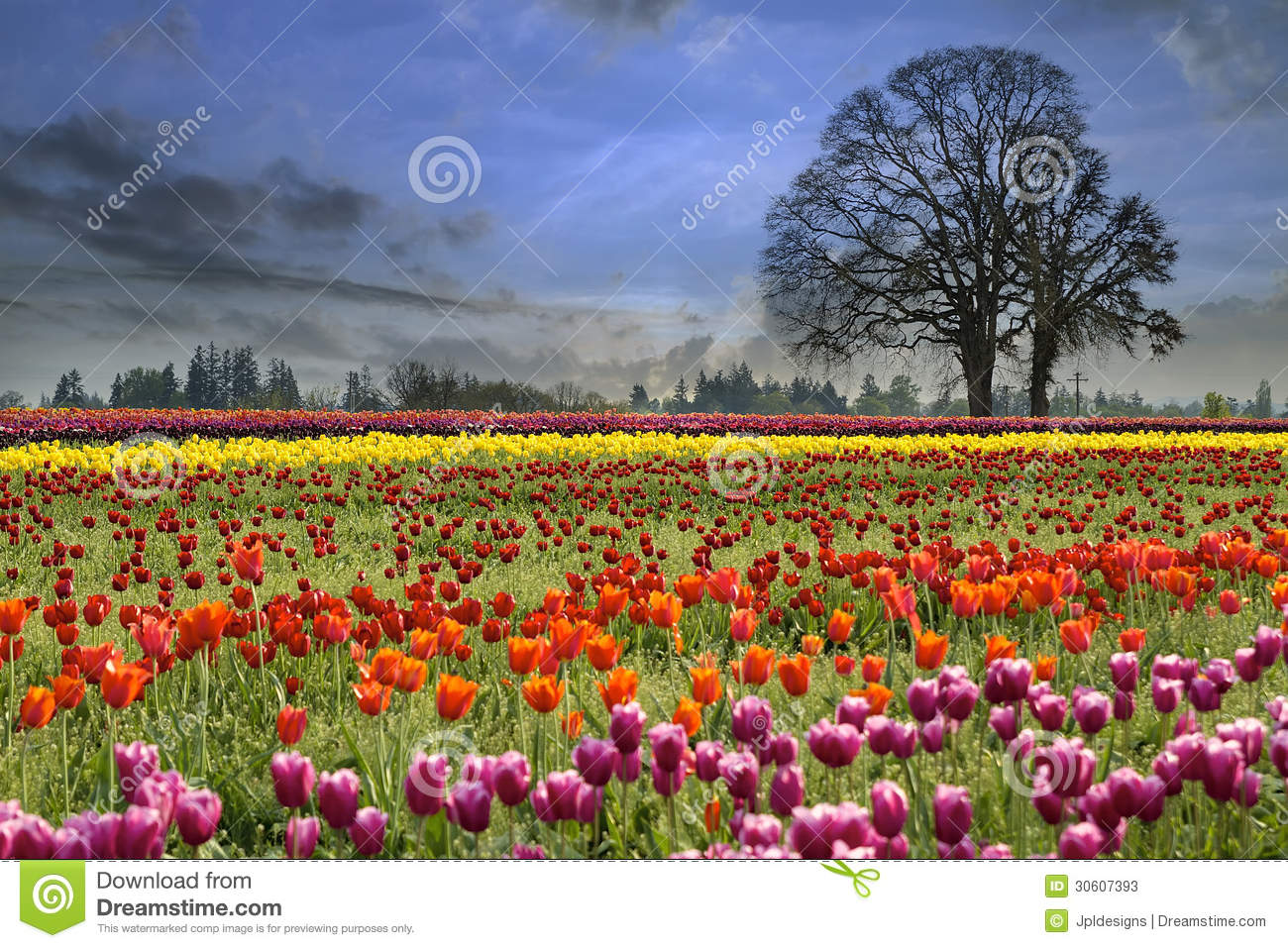 Spring Flowers Tulips Field Sunrise Grass Clouds: Tulips Blooming In Spring Season Stock Image