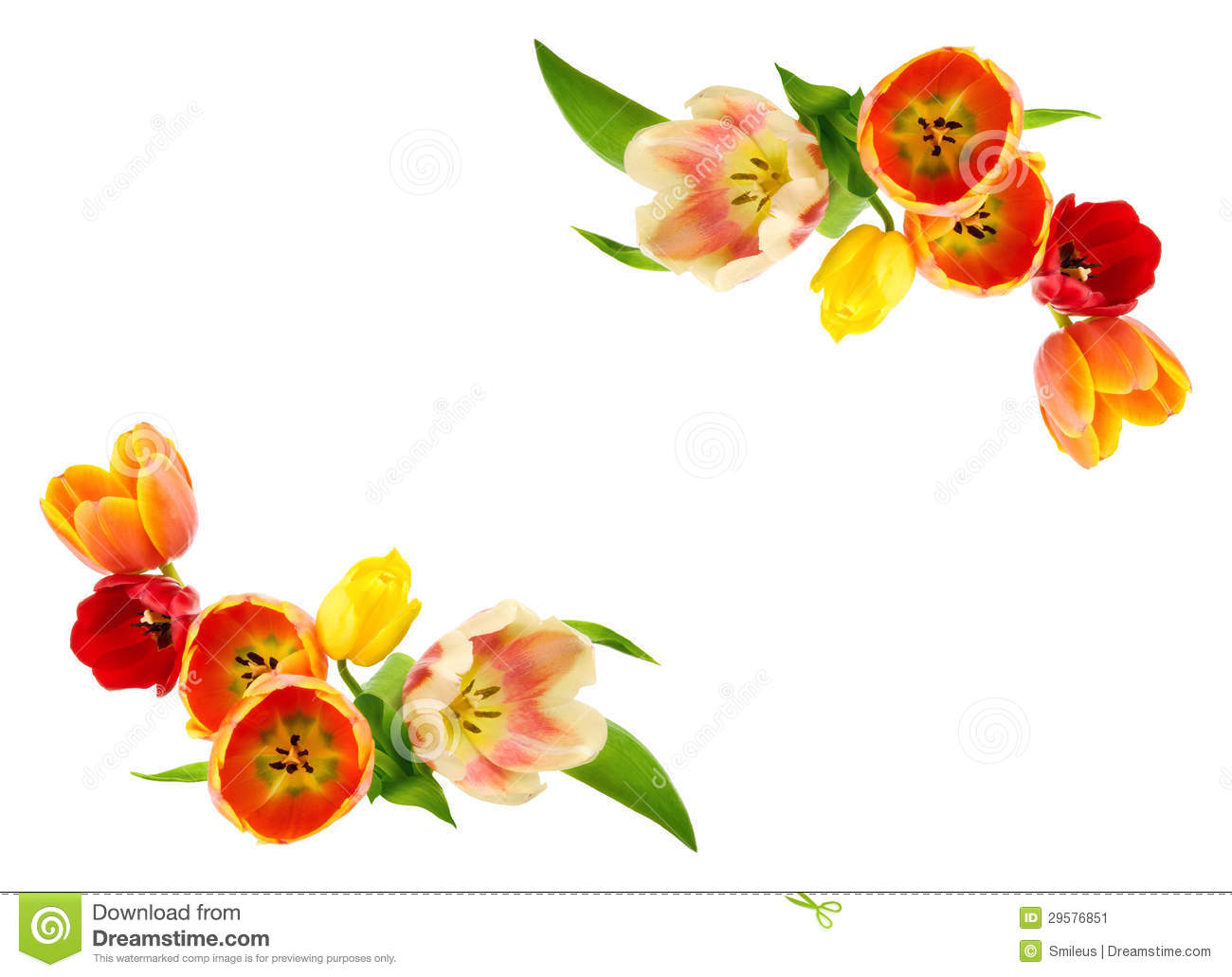 Tulips bulding an ornamental border on white copy space.
