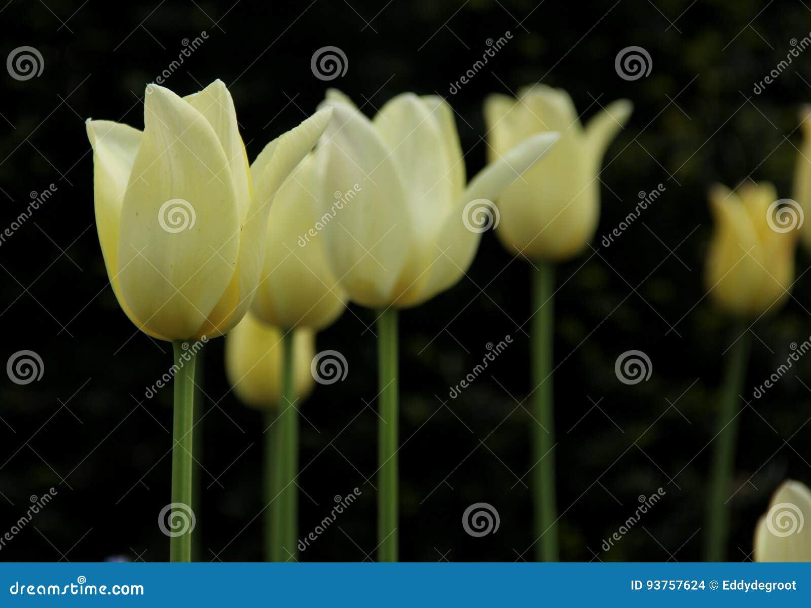 Tulips brancos