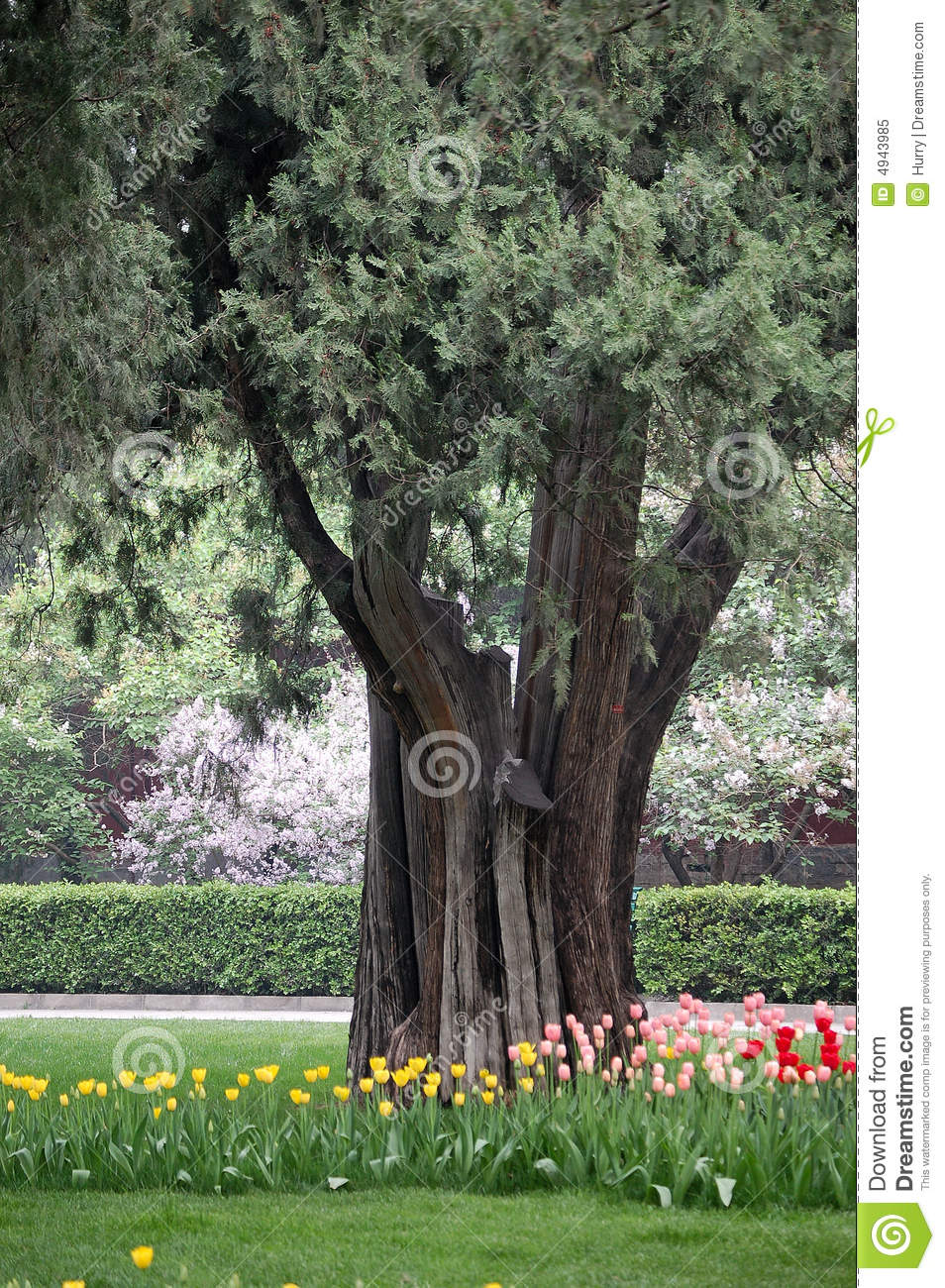 Tulips, clove and old cypress tree