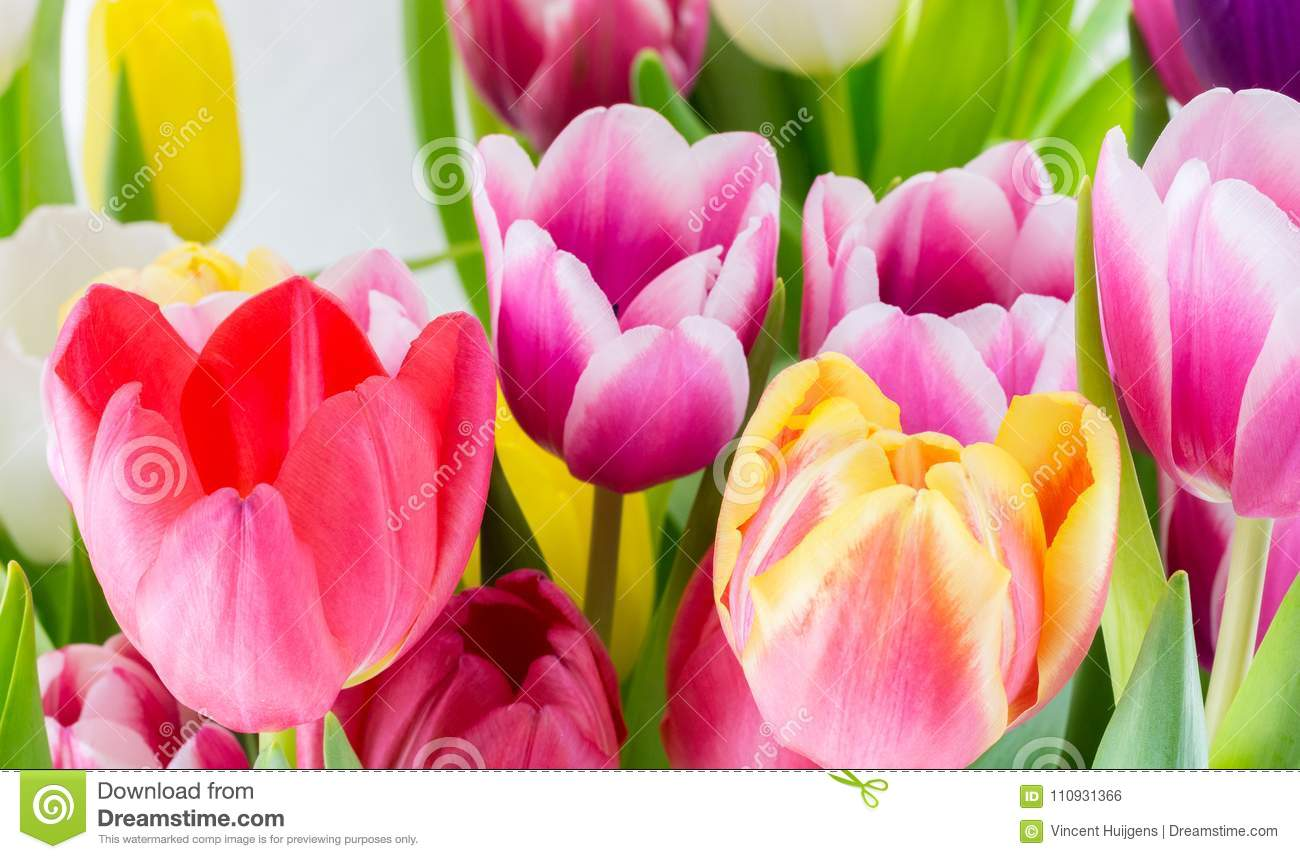 Tulips Colorful Spring Flowers Pink Red Yellow And Green Stock Photo