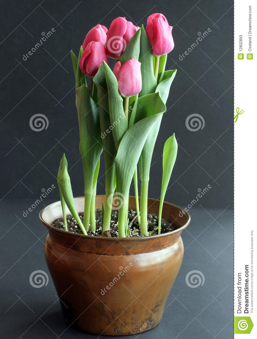 Tulips cor-de-rosa no recipiente