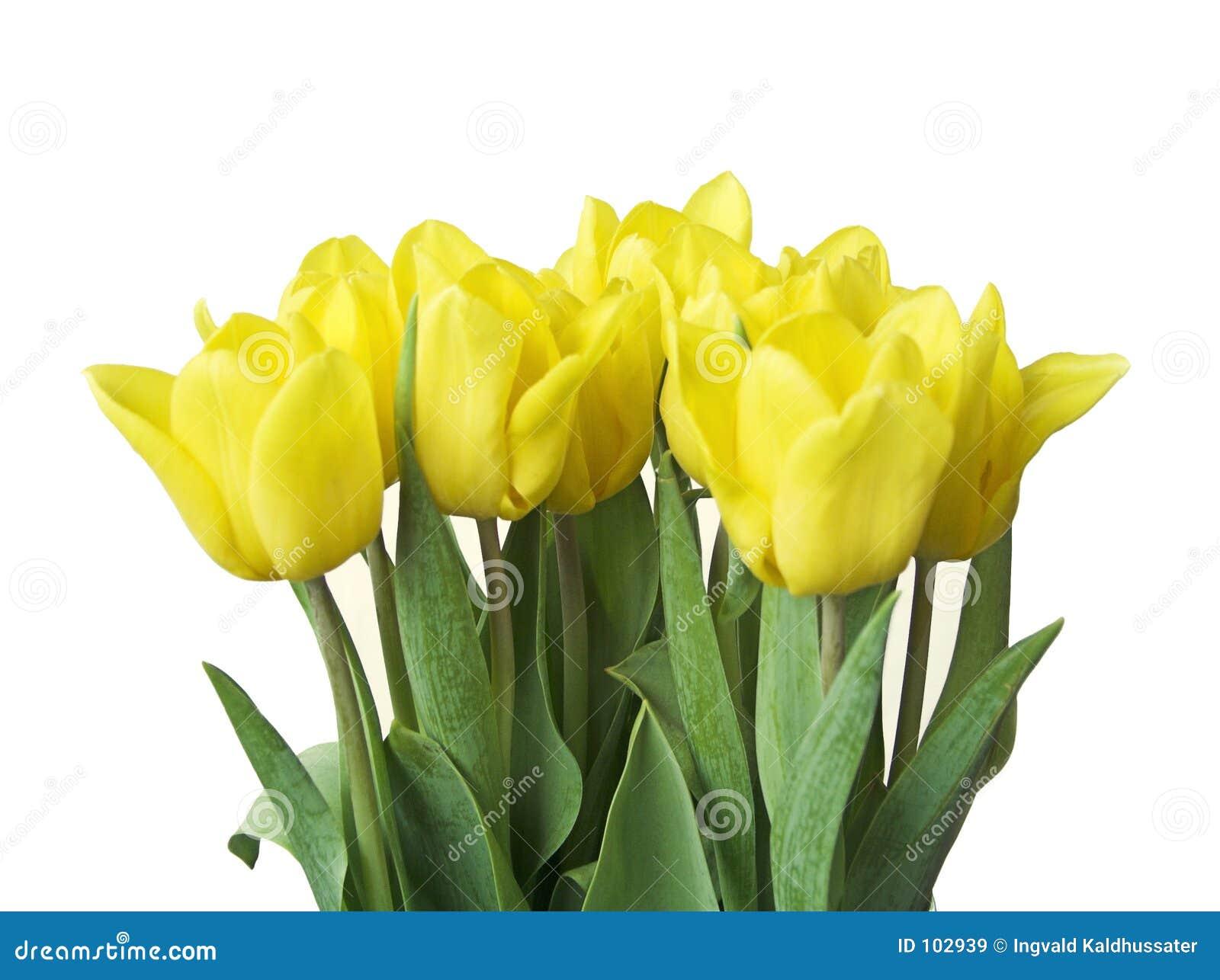 Tulips da mola