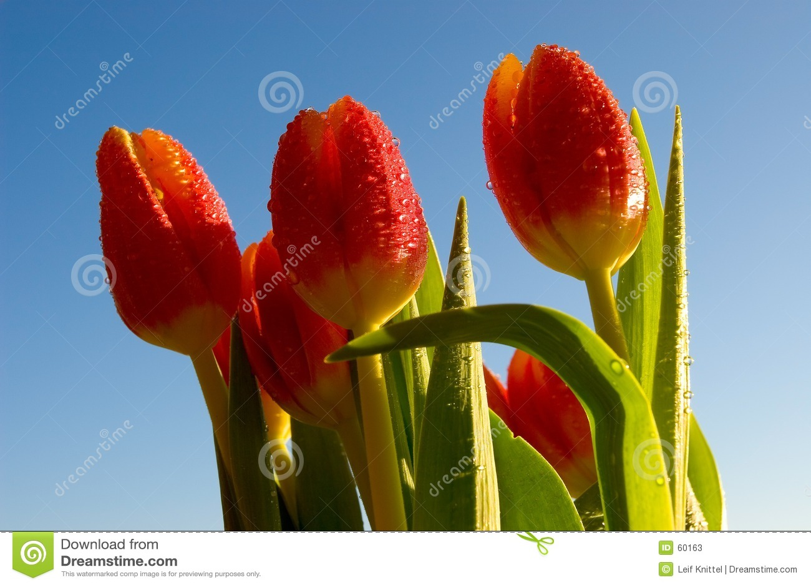 Tulips da primavera