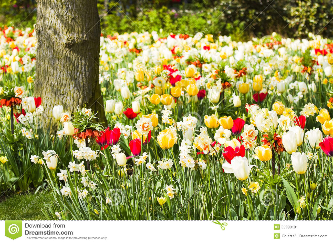 Tulips, daffodils and Imperial Crowns blooming under a tree in spring ...