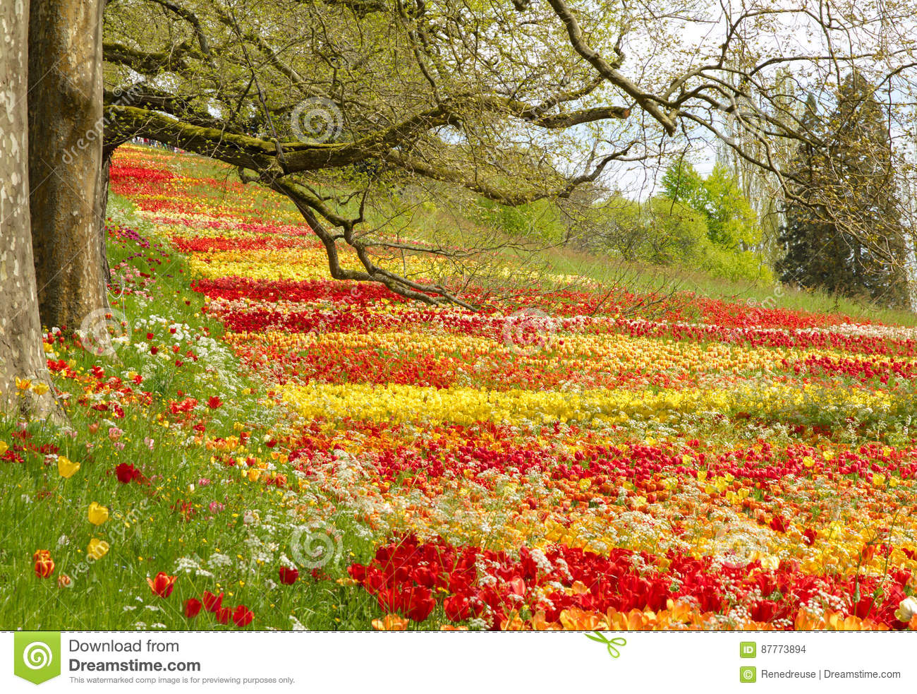Tulips Field In Spring With Trees And Branches Stock Photo Image