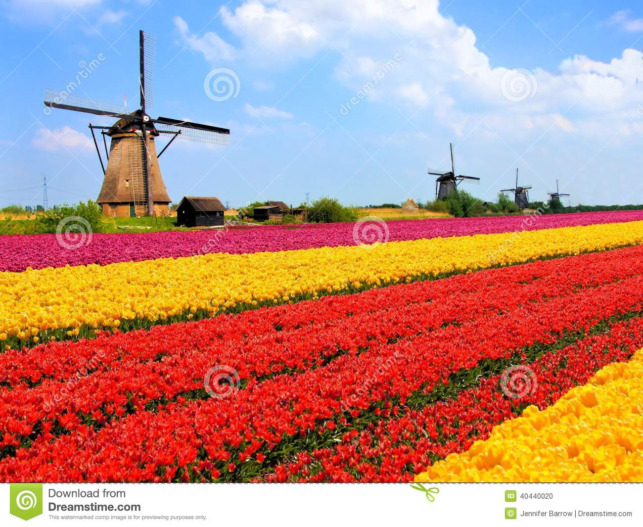 Tulips fields and windmills