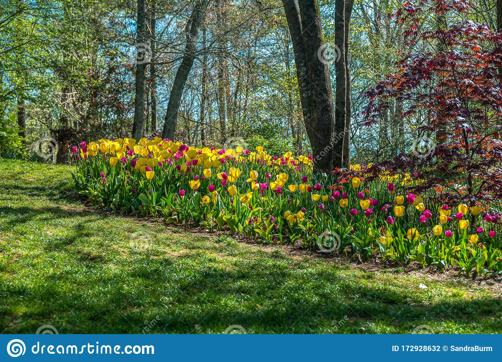 Tulips In A Flower Bed Around A Tree Stock Photo Image Of Growth Botanical 172928632