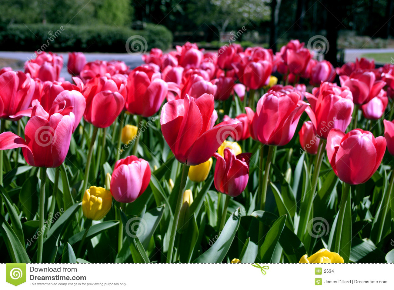 Tulips Flower Greetings Stock Photo Image Of Gardens Butterfly