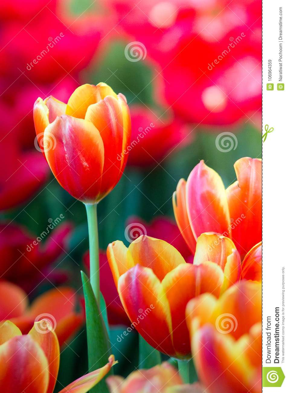 Tulips flowers beautiful bouquet tulips colorful flowers background wallpaper