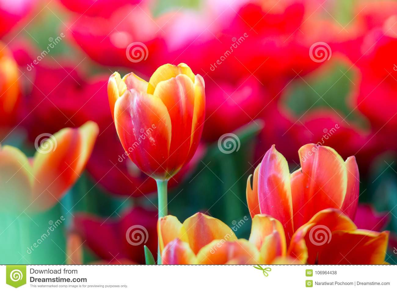 Tulips Flowers Beautiful Bouquet Of Tulips Colorful Flowers