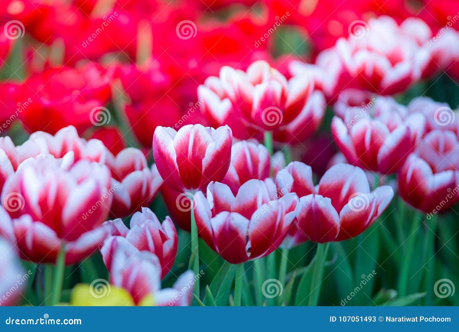 Tulips Flowers Beautiful Bouquet Of Tulips Colorful Flowers Background Wallpaper Stock Image Image Of Flower Keukenhof 107051493