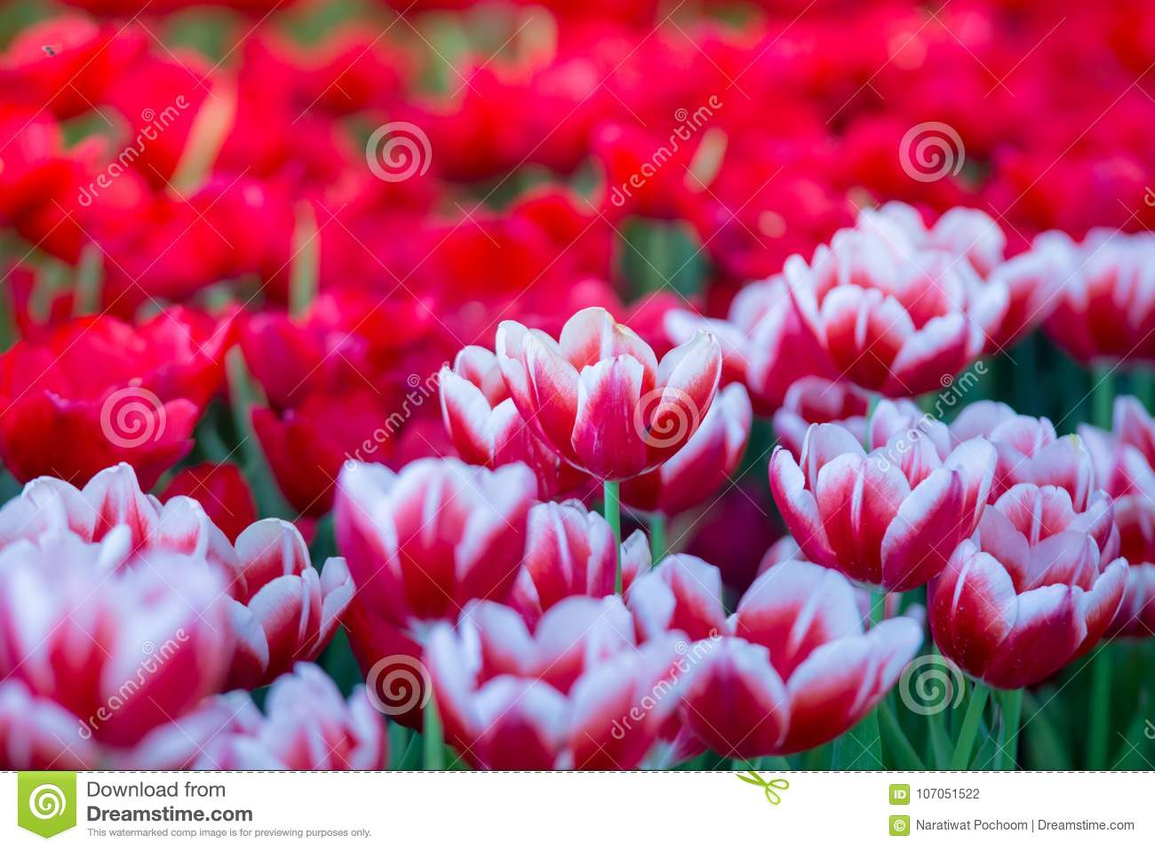 Tulips Flowers Beautiful Bouquet Of Tulips Colorful Flowers Background Wallpaper Stock Photo Image Of Bouquet Background 107051522