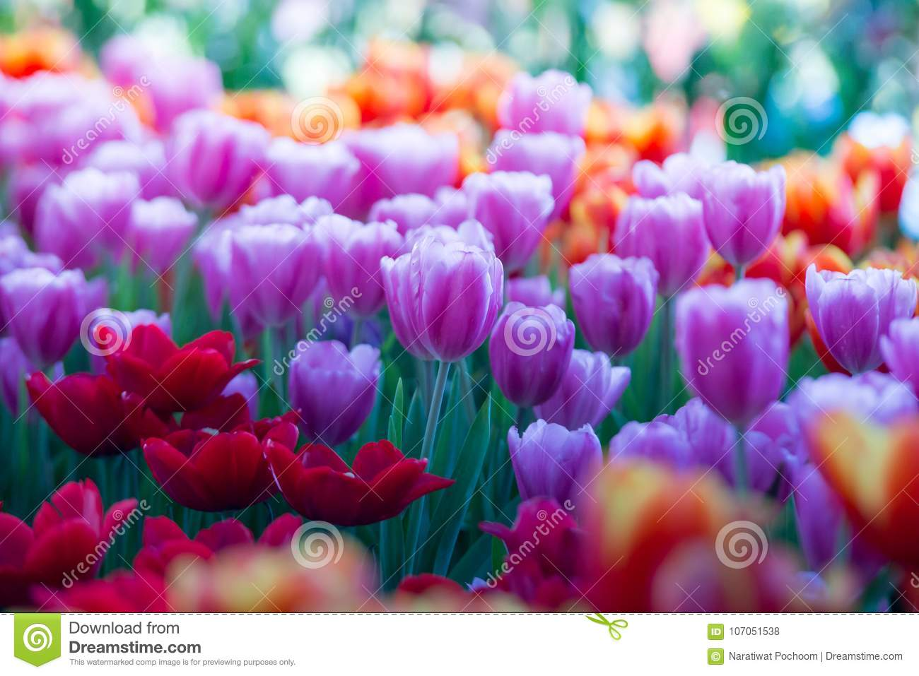 Tulips Flowers Beautiful Bouquet Of Tulips Colorful Flowers Background Wallpaper Stock Photo Image Of Outdoor Flower 107051538