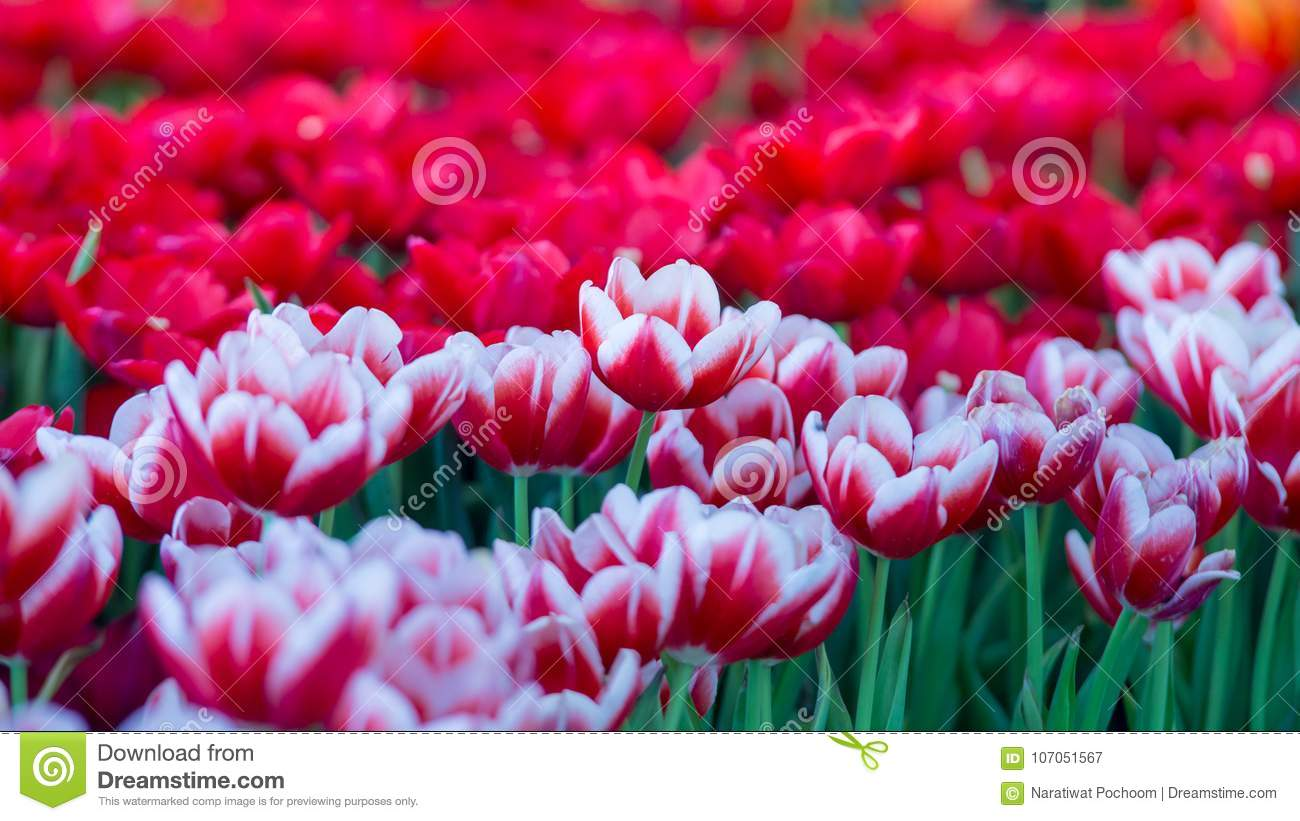 Tulips Flowers Beautiful Bouquet Of Tulips , Colorful Flowers ...