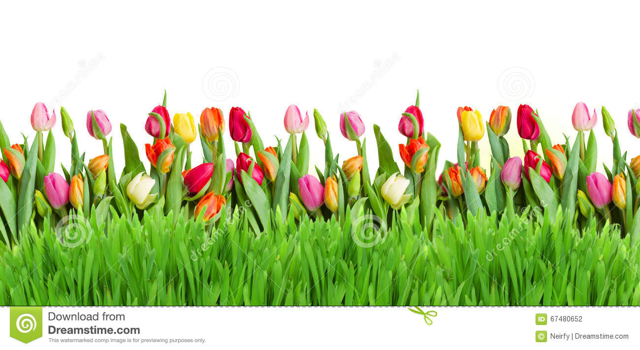 Tulips And Grass Border Stock Photo Image Of Green Petal