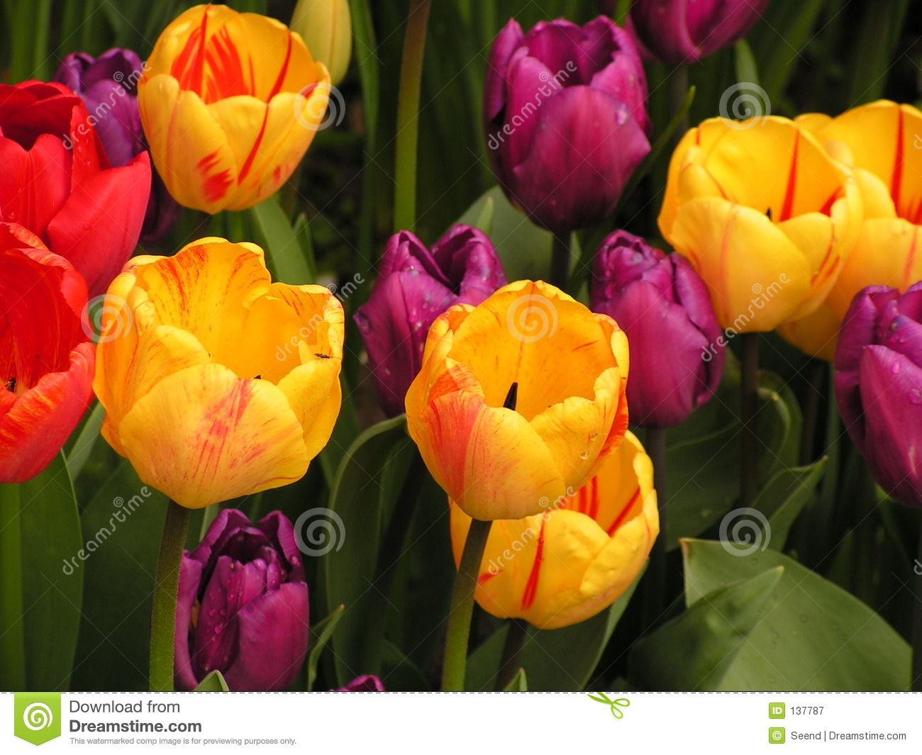 Tulips holandeses