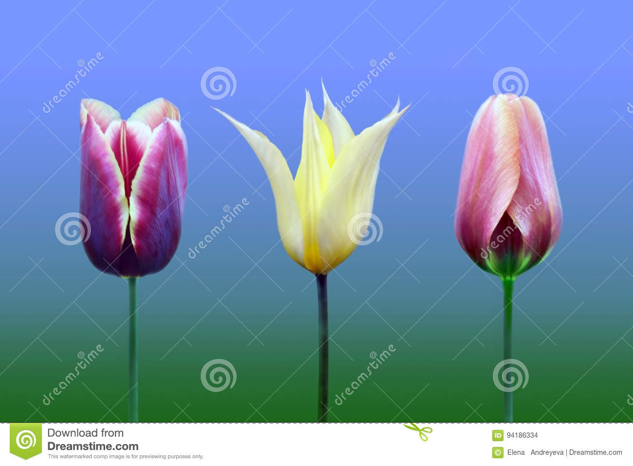 Tulips of the miscellaneous of the sort and colour