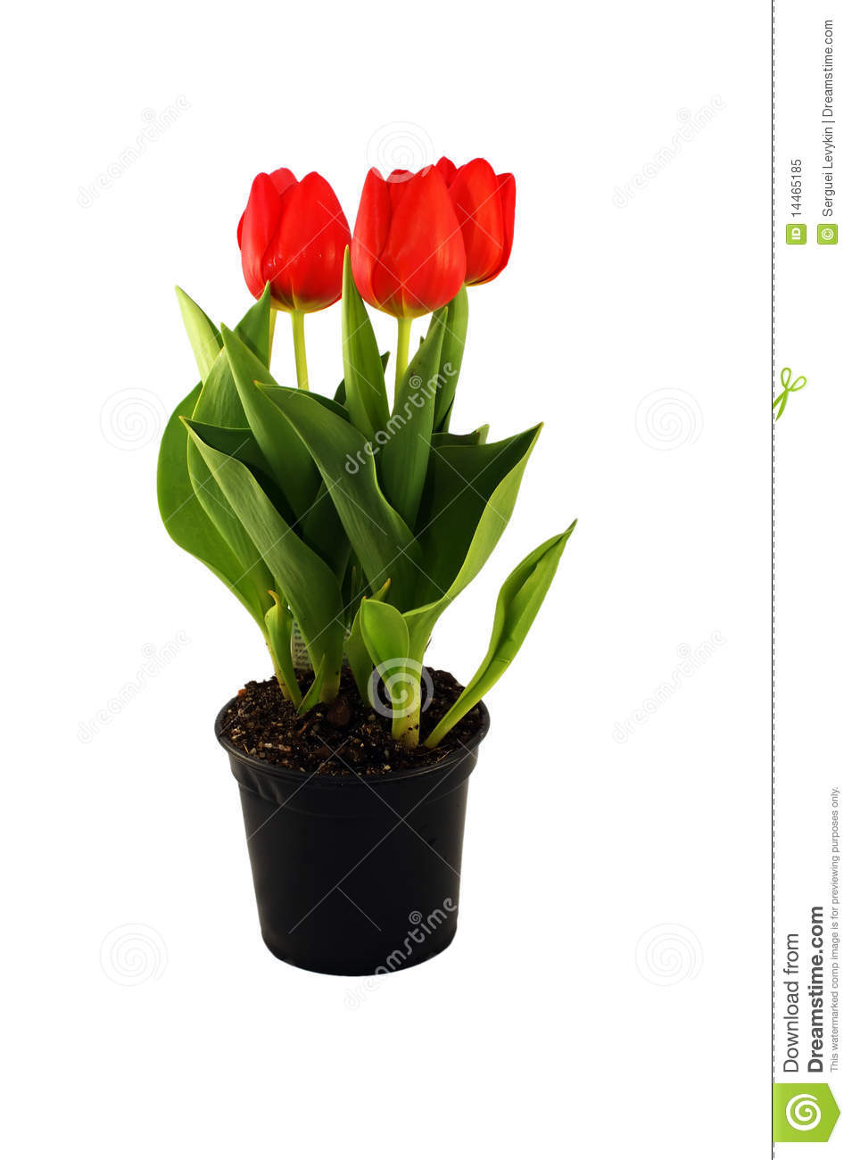 Tulips In The Pot Stock Image  Image Of Blossom  Fresh